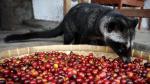 Civet + coffee beans = kopi luwak