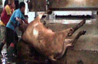 Indonesian Abattoir