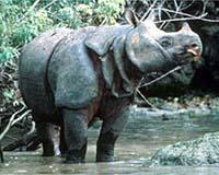 Ujung Kulon Rhino