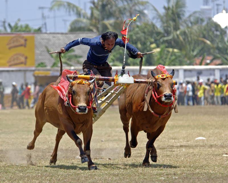 Bull racing in Madura, East Java